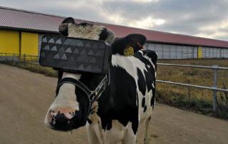 Na krowach w Rosji przetestowali okulary wirtualnej rzeczywistości